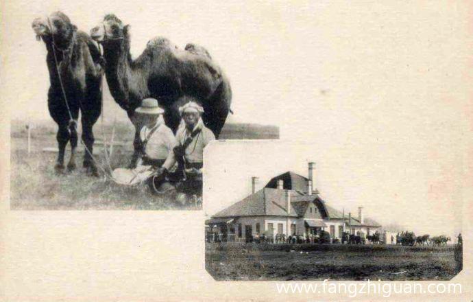 郑家屯附近蒙古人在放养骆驼